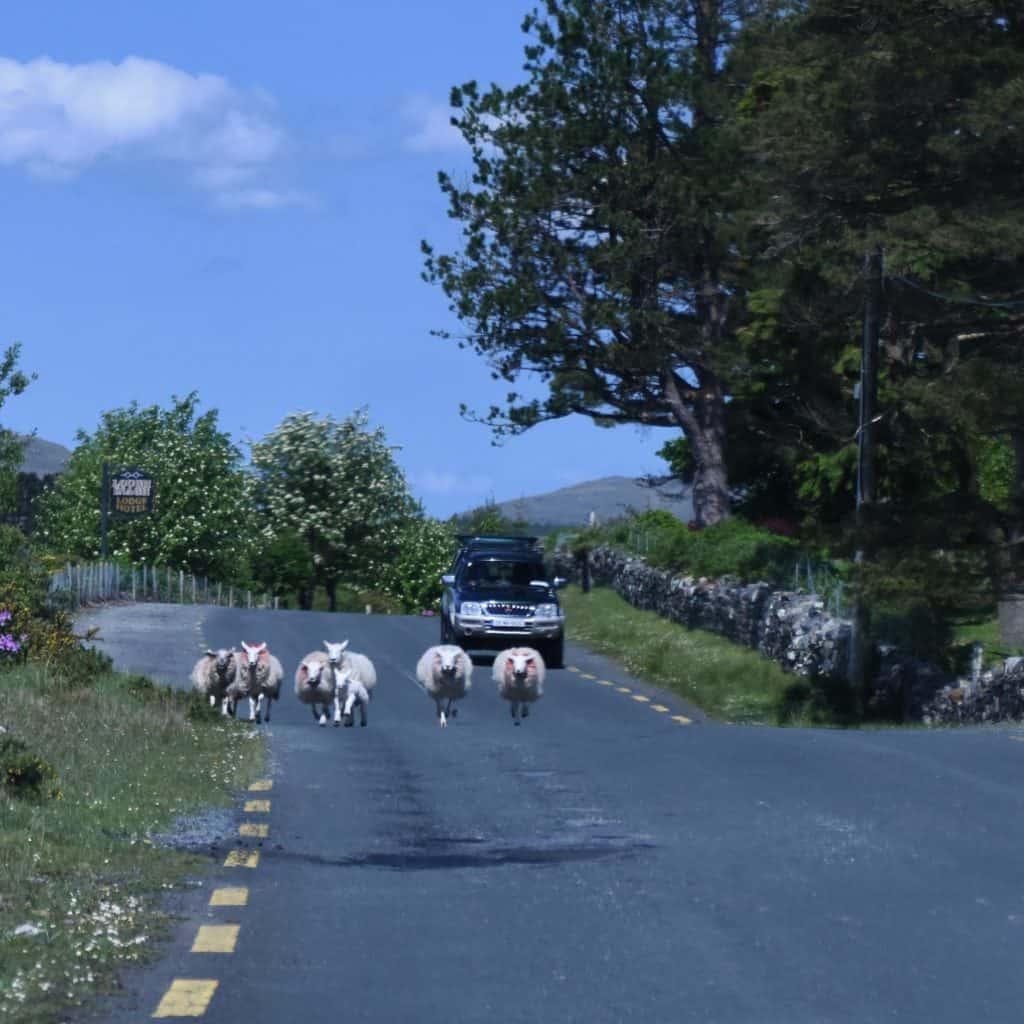 Ireland - Connemara - Sheep in the Road