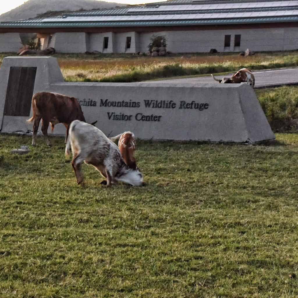 Two calves tussling in front of the Visitor's Center at the Wichita Mountains Wildlife Refuge