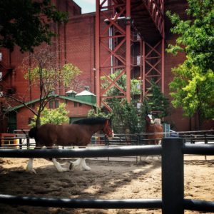 Hanging out with the Budweiser Clydesdales in St. Louis