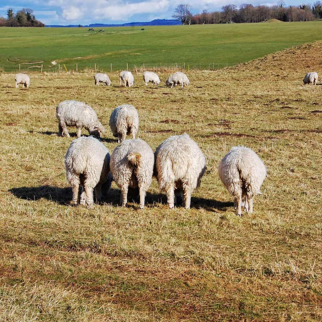Stonehenge Sheep - found simply by turning around while visiting Stonehenge