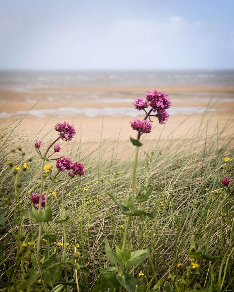 Wildflowers on Juno Beach. Juno Beach was stormed by the Canadians.