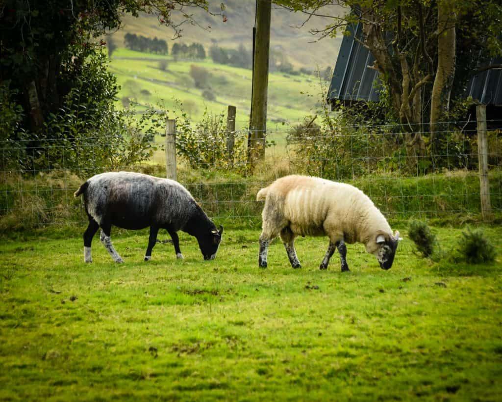 I love Irish sheep