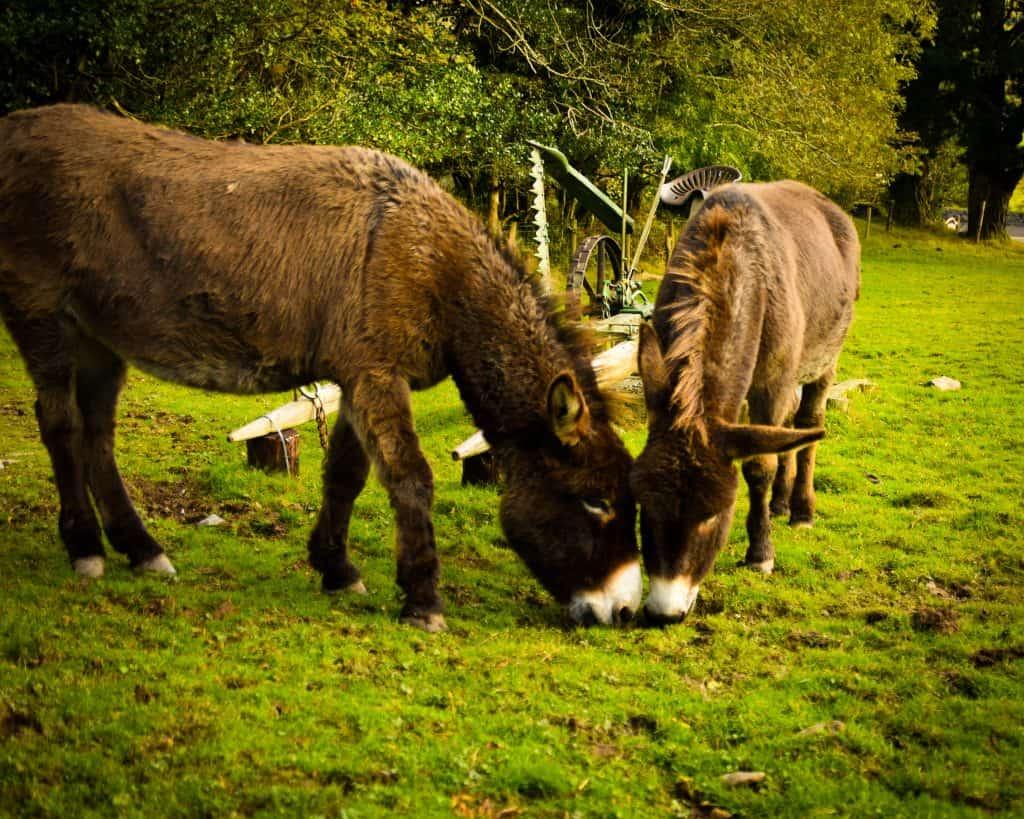 Ireland - Kenmare -Donkeys at Molly Gallivan's Traditional Irish Farm