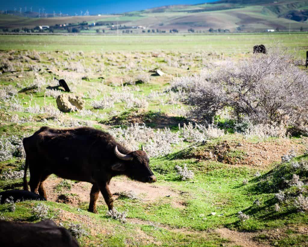 Wild African Buffalo at Lake Ichkeul - Photographs of Tunisia Historical Sites