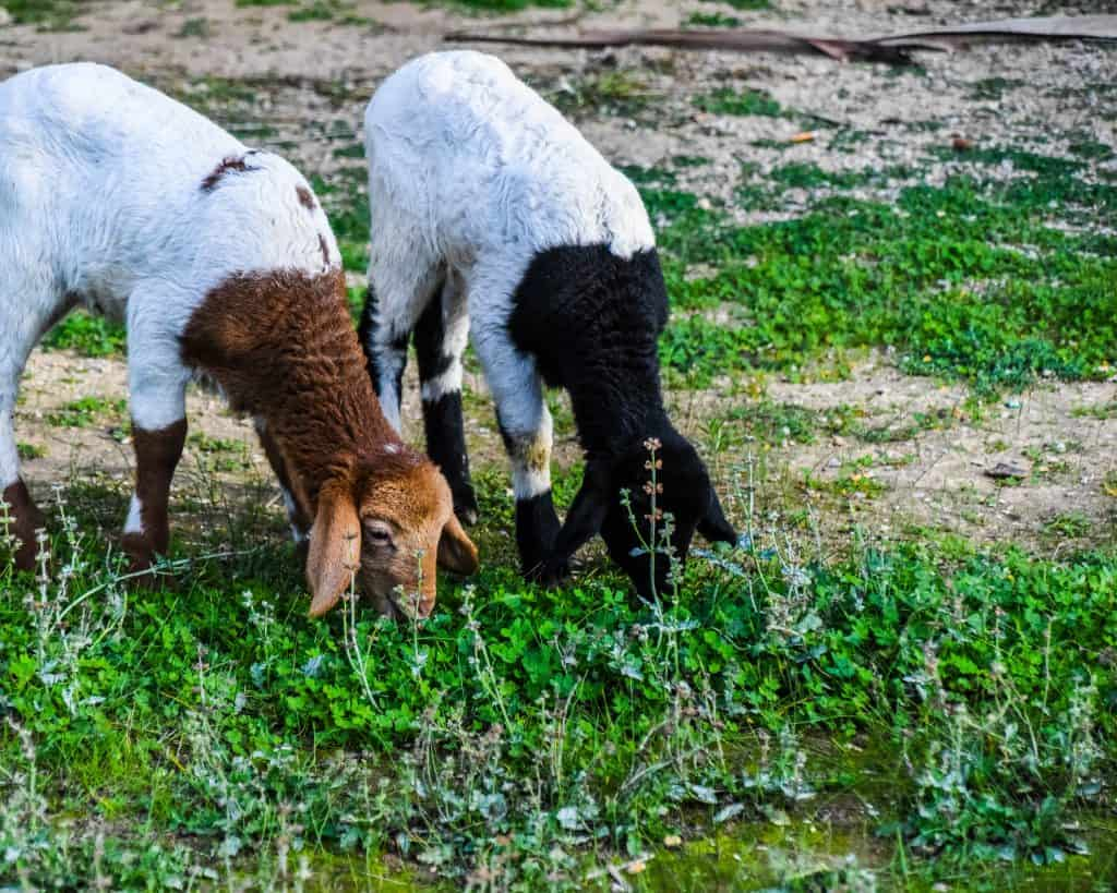 Lambs grazing in the ruins of Carthage - Photographs of Tunisia Historical Sites