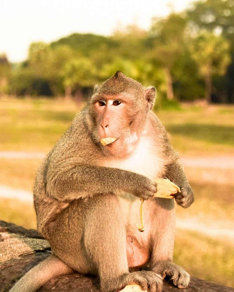 A monkey eating a stolen banana