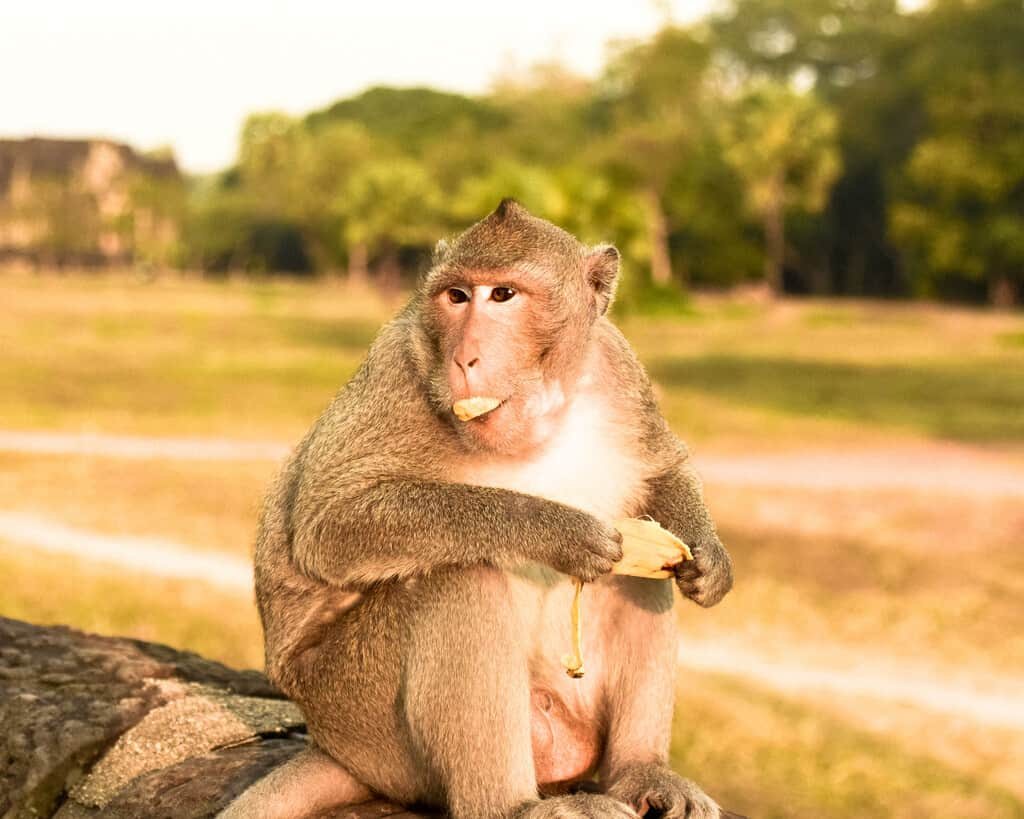 The Angkor Wat Monkeys are Jerks and Other Naughty Monkey Tales