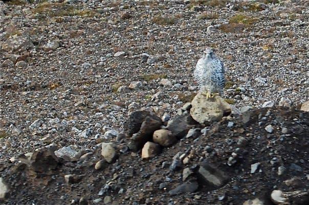 Iceland - Gyr Falcon