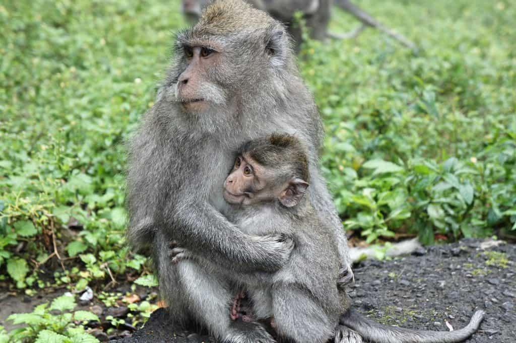 Indonesia - Bali - Monkeys - Pixabay