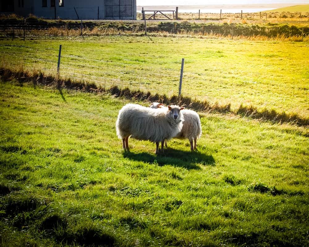 Iceland - Vik - Sheep