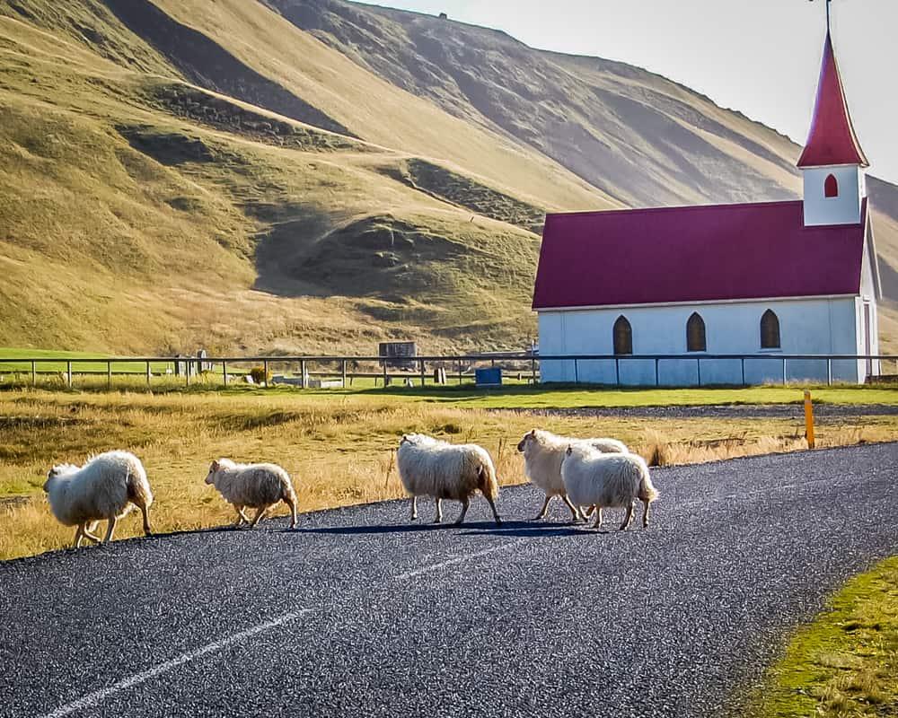 Iceland - Vik - Sheep crossing the road at Vik Church