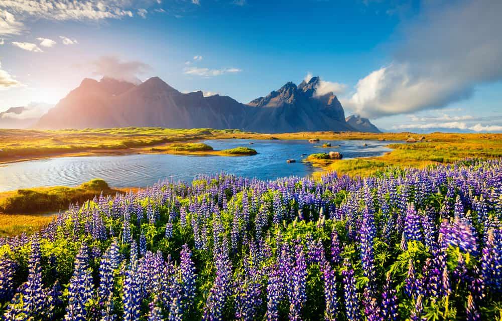 Iceland - Blooming lupine flowers on the Stokksnes headland