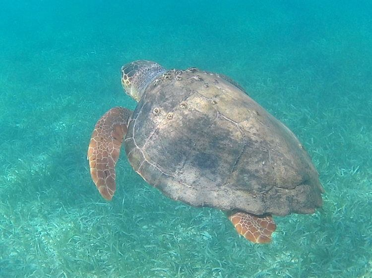 sea turtle scuba diving in placencia