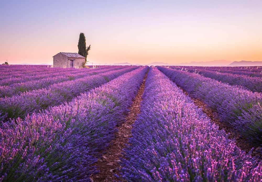 Valensole lavender fields, Provence, France