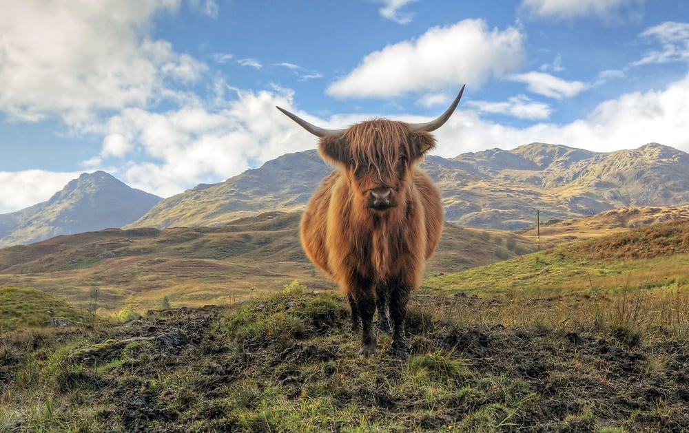 UK - Scotland - Highland Cow in the Trossachs with the Arrochar mountains in the distance
