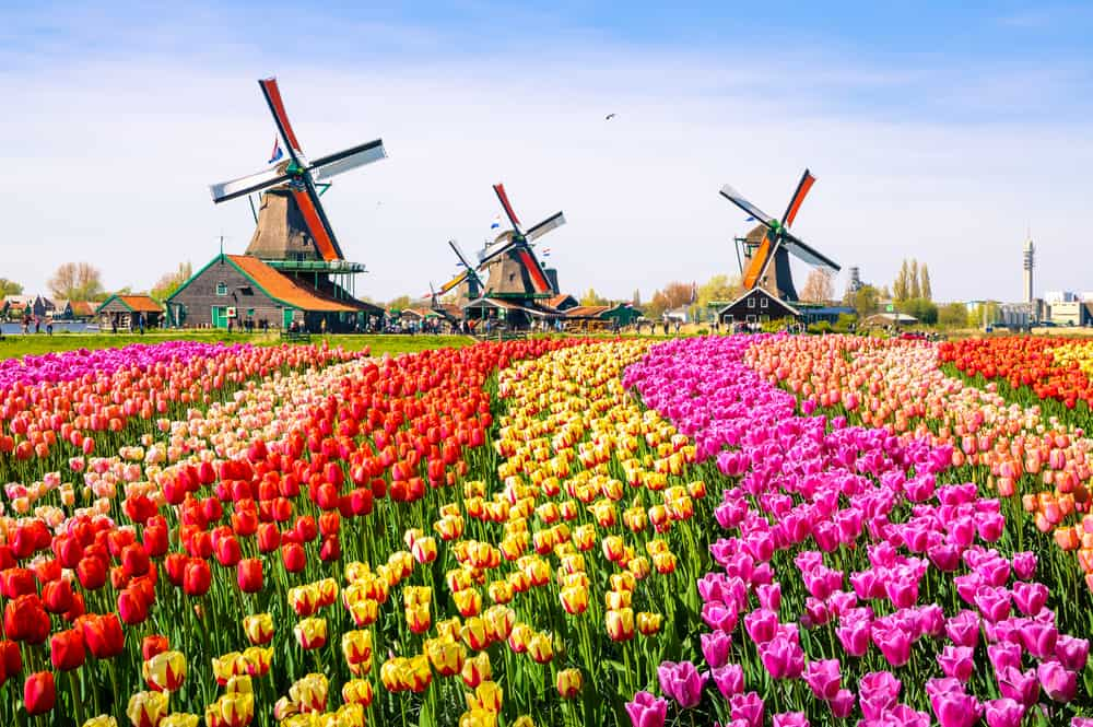 The Netherlands - Amsterdam - Tulip Fields