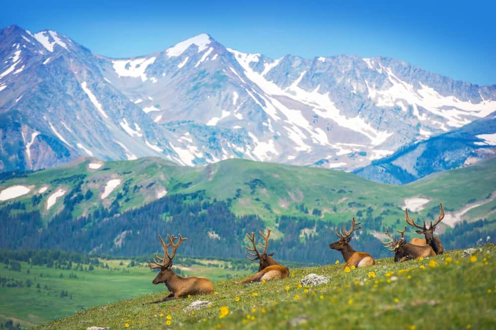 USA - Colorado - North American Elks on the Rocky Mountain Meadow in Colorado, United States. Resting Elks