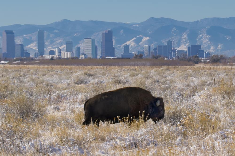 USA - Colorado - Rocky Mountain Arsenal National Wildlife Refuge near Denver, Colorado - bison with Denver skyline in background