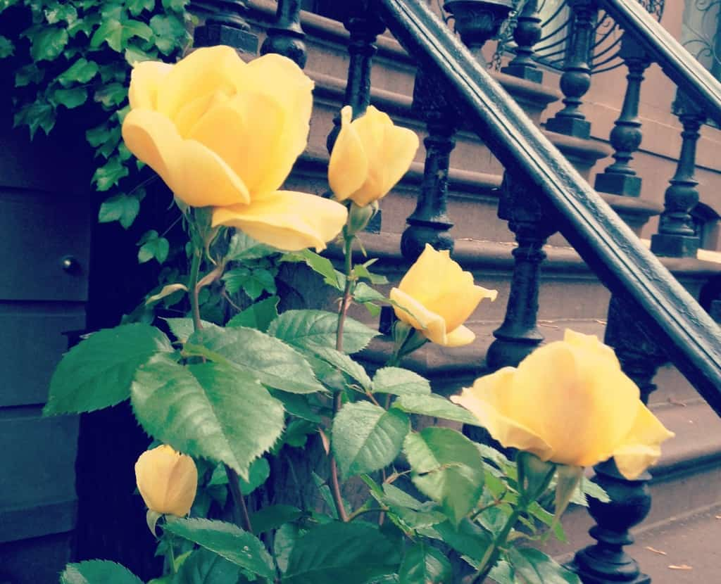 United States - New York - Brooklyn - Yellow Roses by Brownstone Steps