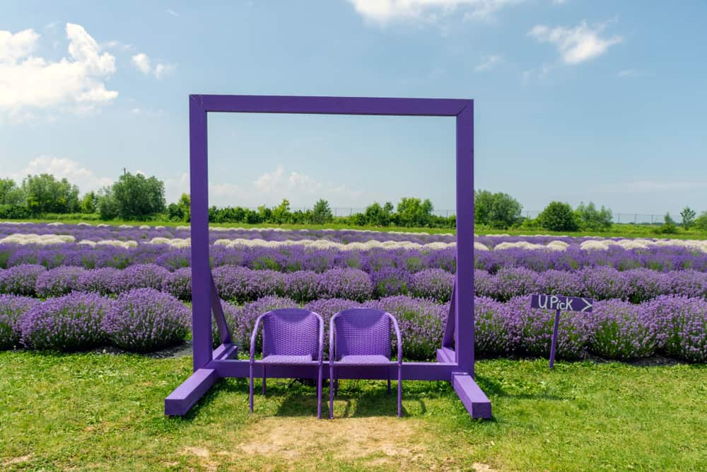 Canada - Ontario - A lavender farm near Niagara on the Lake, Ontario provides tours, beautiful photo opportunities, and locally make products in an adjoining retail store. shutterstock_1443715397