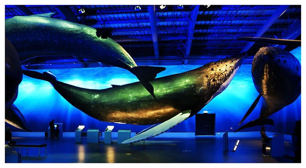 Iceland - Reykjavik - Whales of Iceland Museum
