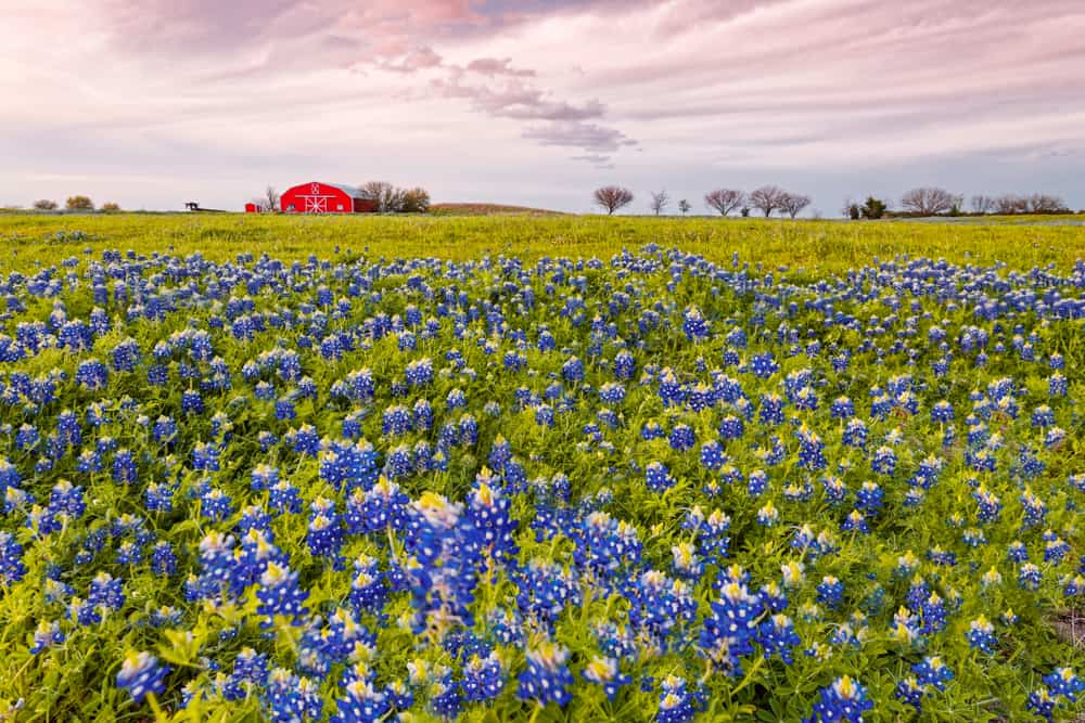 Bluebonnets And Red Barn In Washington County - Chappell Hill - Brenham - Texas