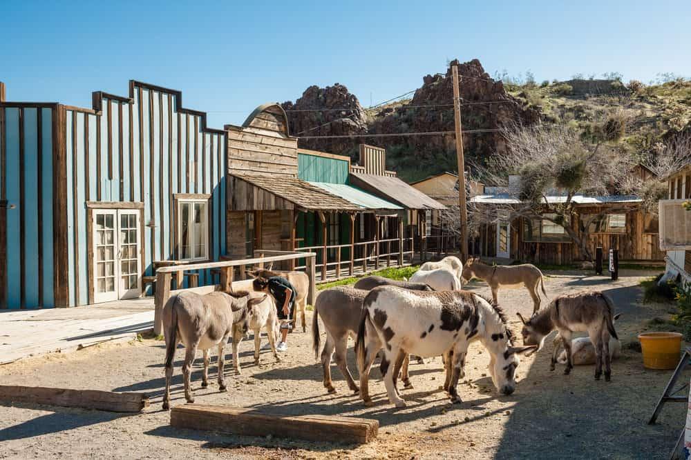 Burros (Donkeys) in Oatman Ghost town in Arizona, USA