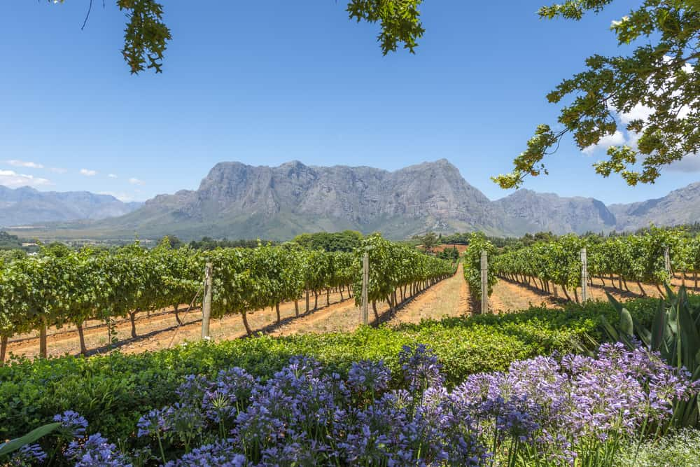 Grape wineland countryside landscape background of hills with mountain backdrop in Cape Town South Africa