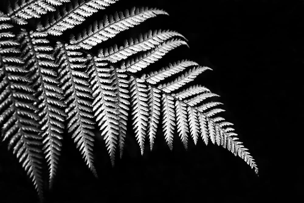 Silver fern in black and white sign of Newzealand