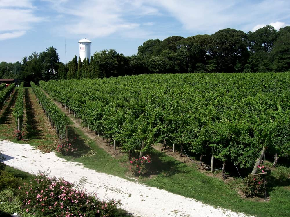 USA - New Jersey - A grape and wine vineyard in Cape May, New Jersey.