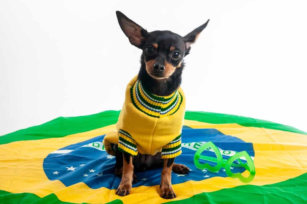 Nina, the brazilian puppy dog.White background.|Pet . Close up .Adopt a dog.