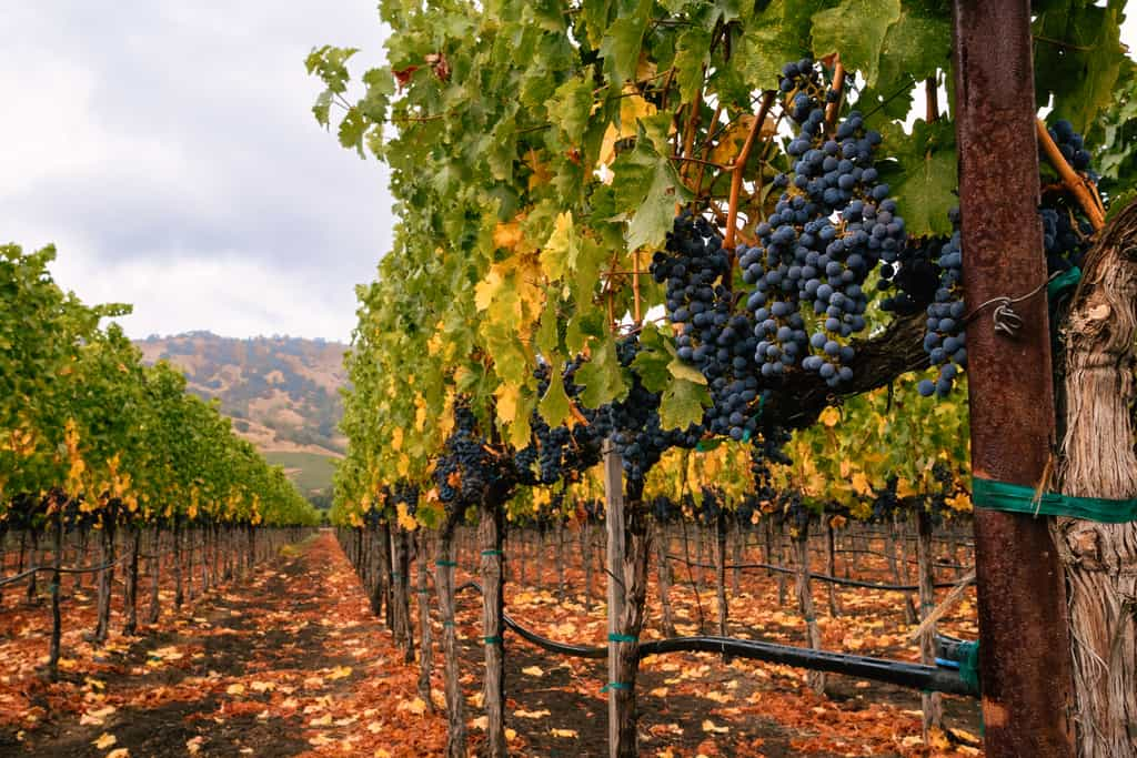 Purple grapes hang from vines in Napa Valley, California in fall. Fallen leaves on the ground and trellising of grapevines.