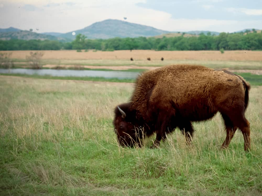 Buffalo (American Bison) roam the native mixed grass prairie of the Wichita Mountains in SW Oklahoma.