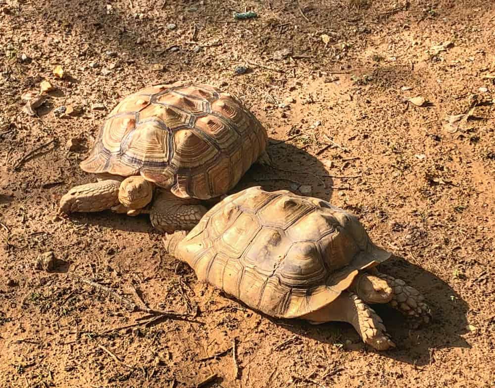 Tortoises Enjoying the Sun at the Zoo in Little Rock Zoo in Little Rock Arkansas