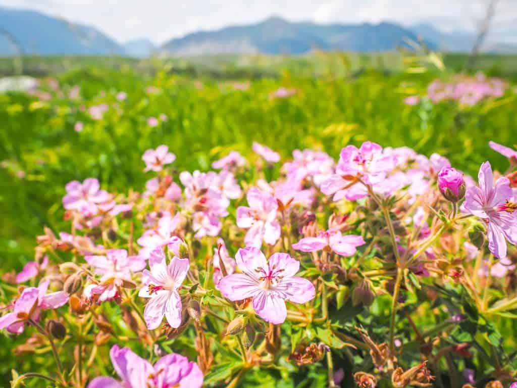 Candada - Alberta - Waterton Lakes National Park - Wildflowers
