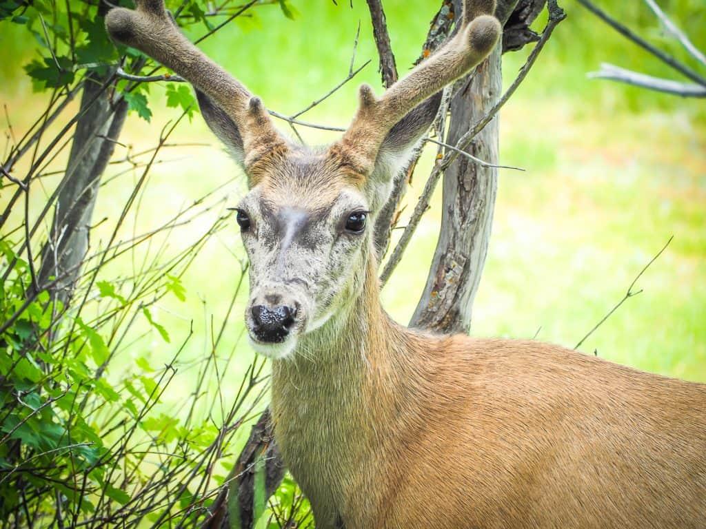 Candada - Alberta - Waterton Lakes National Park - Wildlife - Deer